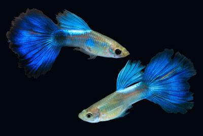 Gambar budidaya ikan guppy dengan kualitas terbaik