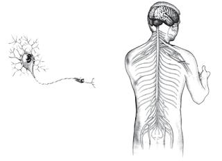 (a) Sel saraf akan membentuk jaringan saraf. Jaringan saraf tersebut akan membentuk (b) organ otak yang akhirnya membentuk sistem saraf