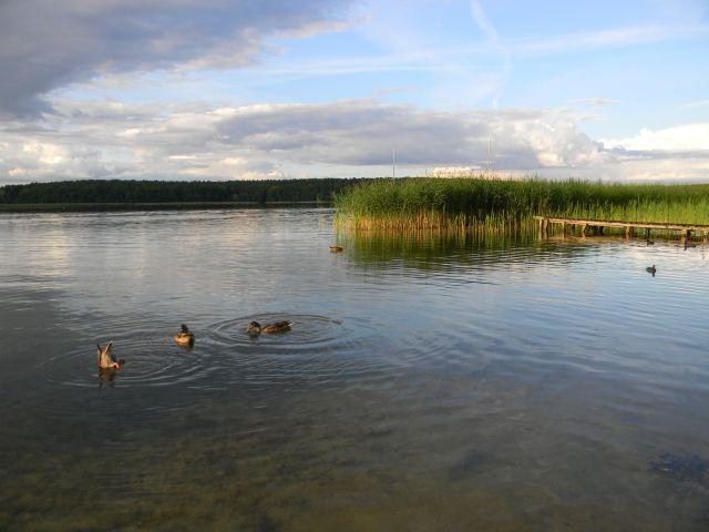 ptaki, jezioro, trzcina, nurkowanie