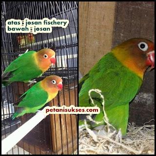 Perbedaan lovebird josan dengan josan fischery
