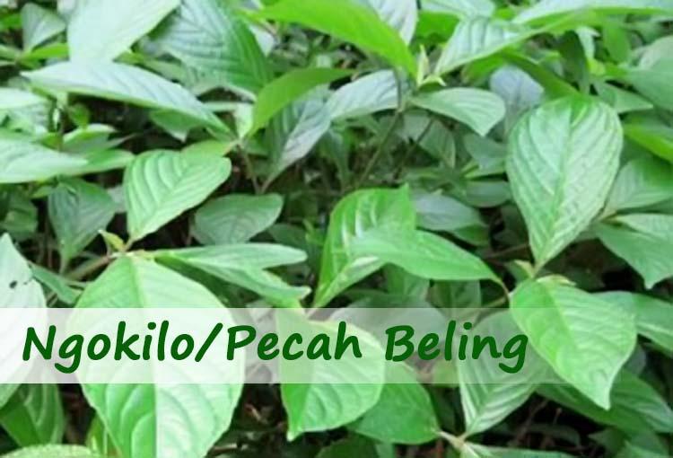 Penggunaan Ngokilo Untuk Obat Herbal Berkhasiat Alami
