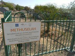Tamareira Matusalém germina na Terra Santa