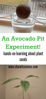 Grow an Avocado- Hands on Science Experiment for kids