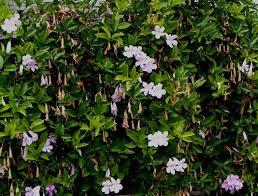 Bignonia callistegioides