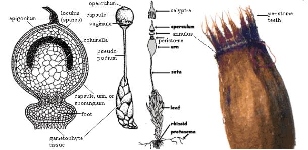 Struktur sporofit (sporogonium)