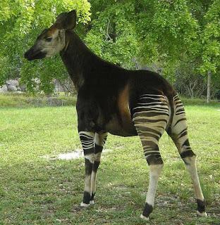 Okapi - animals beginning with O
