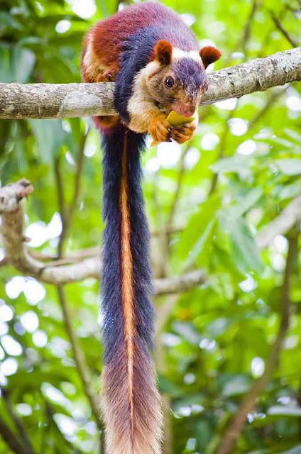Οι σπάνιοι πολύχρωμοι σκίουροι Μαλαμπάρ που είναι σύμβολο αγάπης και ευτυχίας