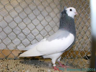 Siscki prevrtac - crotian pigeons - roller