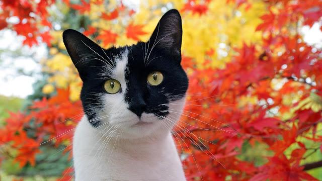 Zwart witte kat herfst