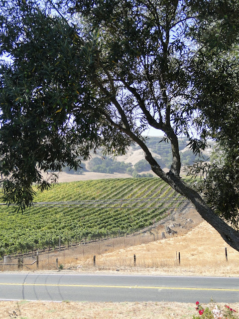 view in Napa Valley of road, vineyard and olive trees.