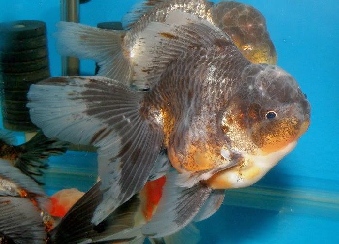 【泰國·獅頭】泰國獅頭金魚 – TouPeenSeen部落格