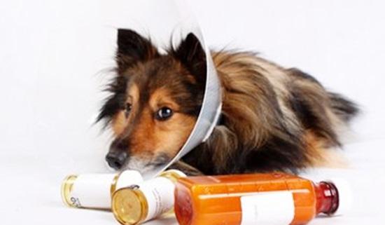 Recomendações pré e pós-operatórias para cães e gatos