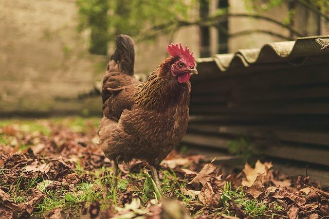 Las gallinas son cobardes por naturaleza