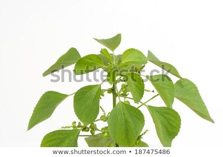 Health Benefits Of Acalypha Indica Indian Acalypha Healthy Life