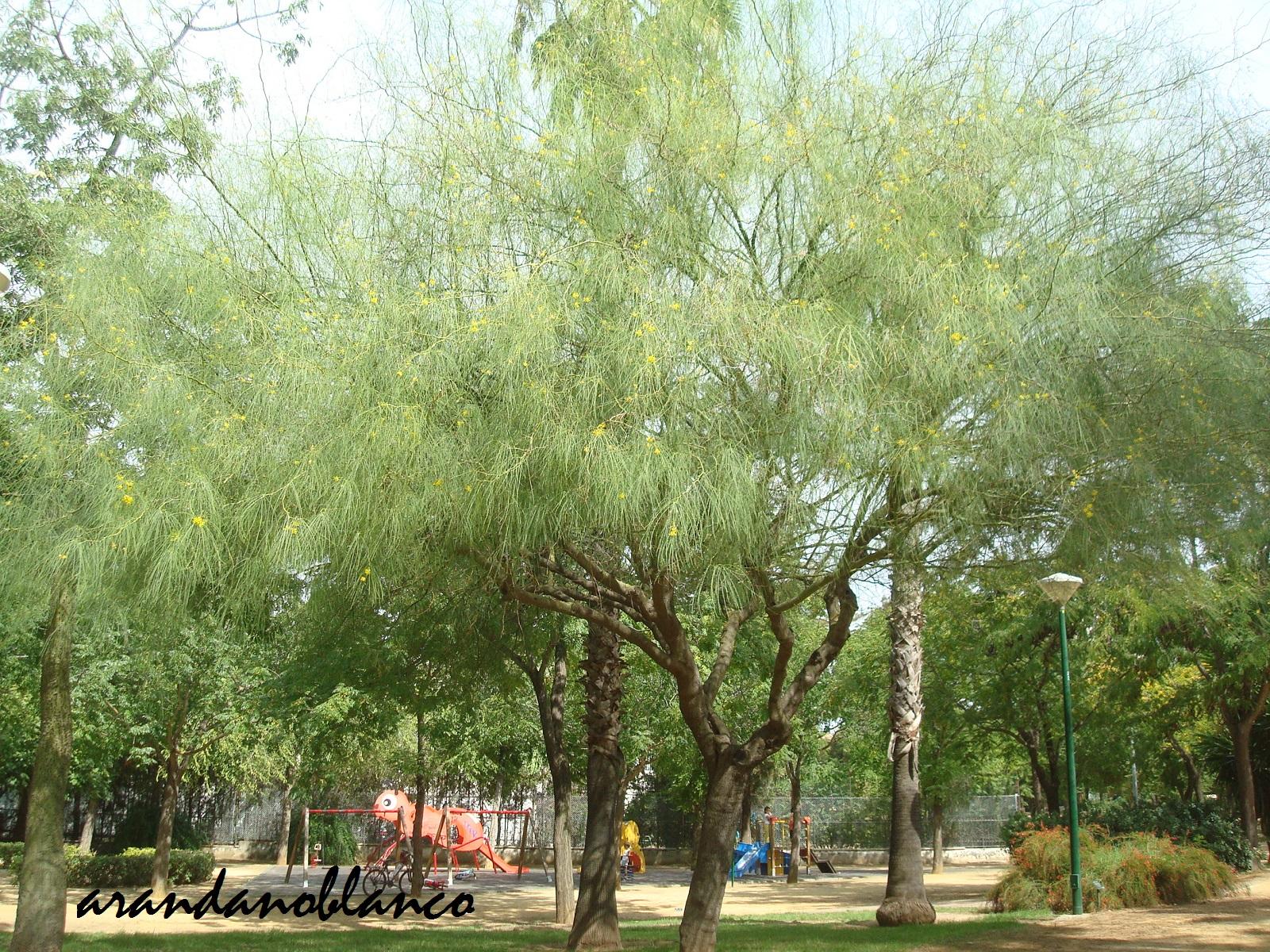 Parquealamillo encinarosa parkinsonia aculeata palo for Vivero del parque