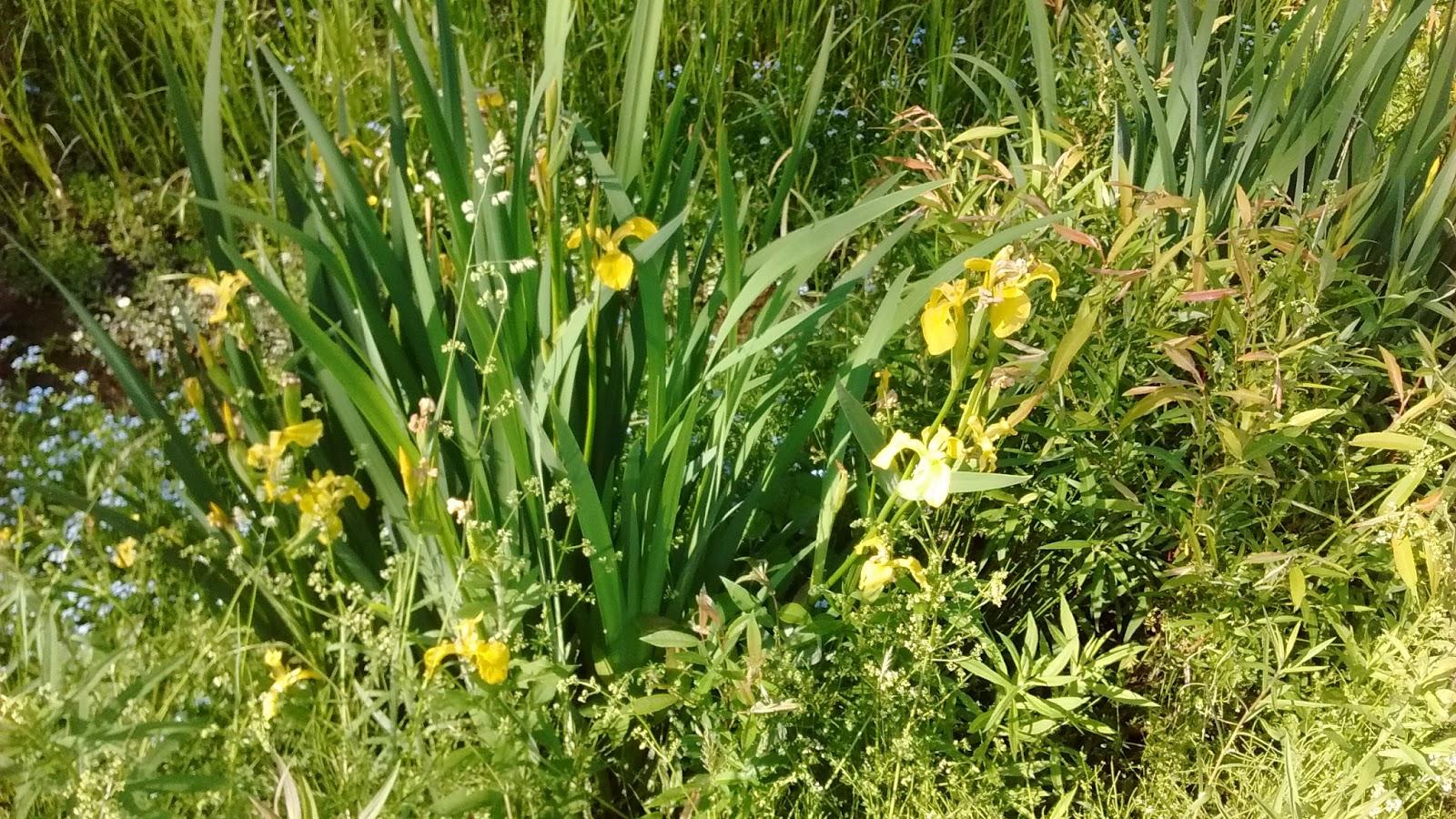 Iris Type Flowers Images Flower Wallpaper Hd