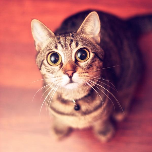 Hướng dẫn chữa bệnh mắt cho mèo tại nhà