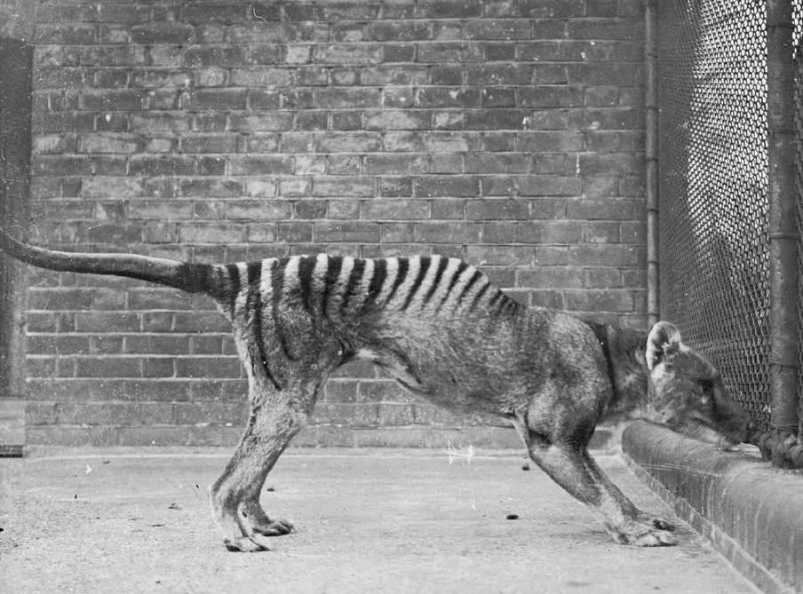 o lobo da tasmânia caminha como um mito o Último reduto nasci