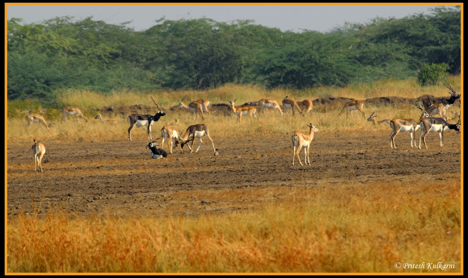 Blackbuck fight