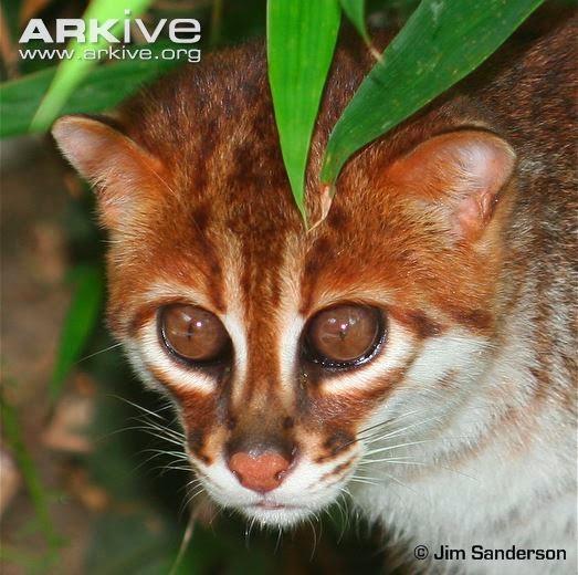 Gato de cabeza plana, Prionailurus planiceps