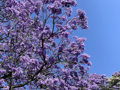 Jacaranda blooms against blue Sydney sky