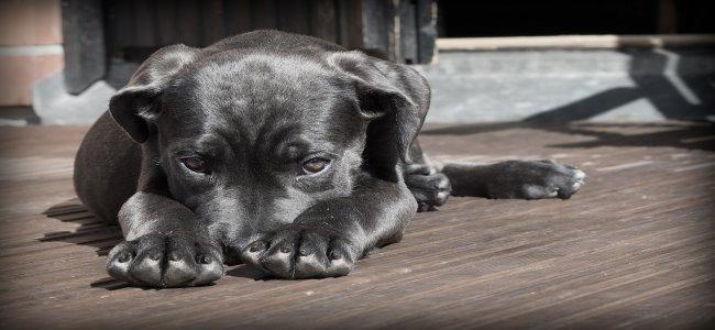 cachorrinho preto escondendo  o focinho entre as patinhas