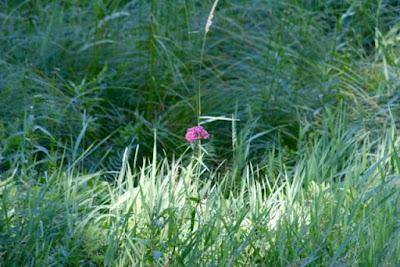 a lonely swamp milkweed