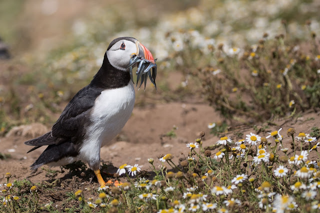 Skomer Island – 14th July
