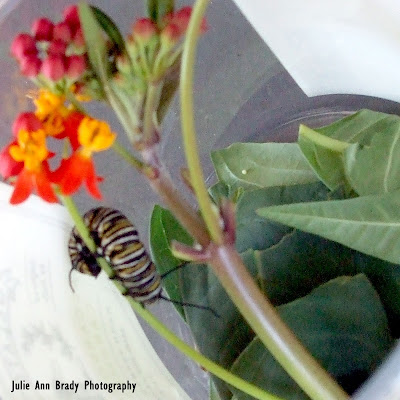 Monarch Butterfly Caterpillar and Egg on Tropical Milkweed