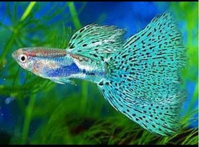 Ikan Guppy