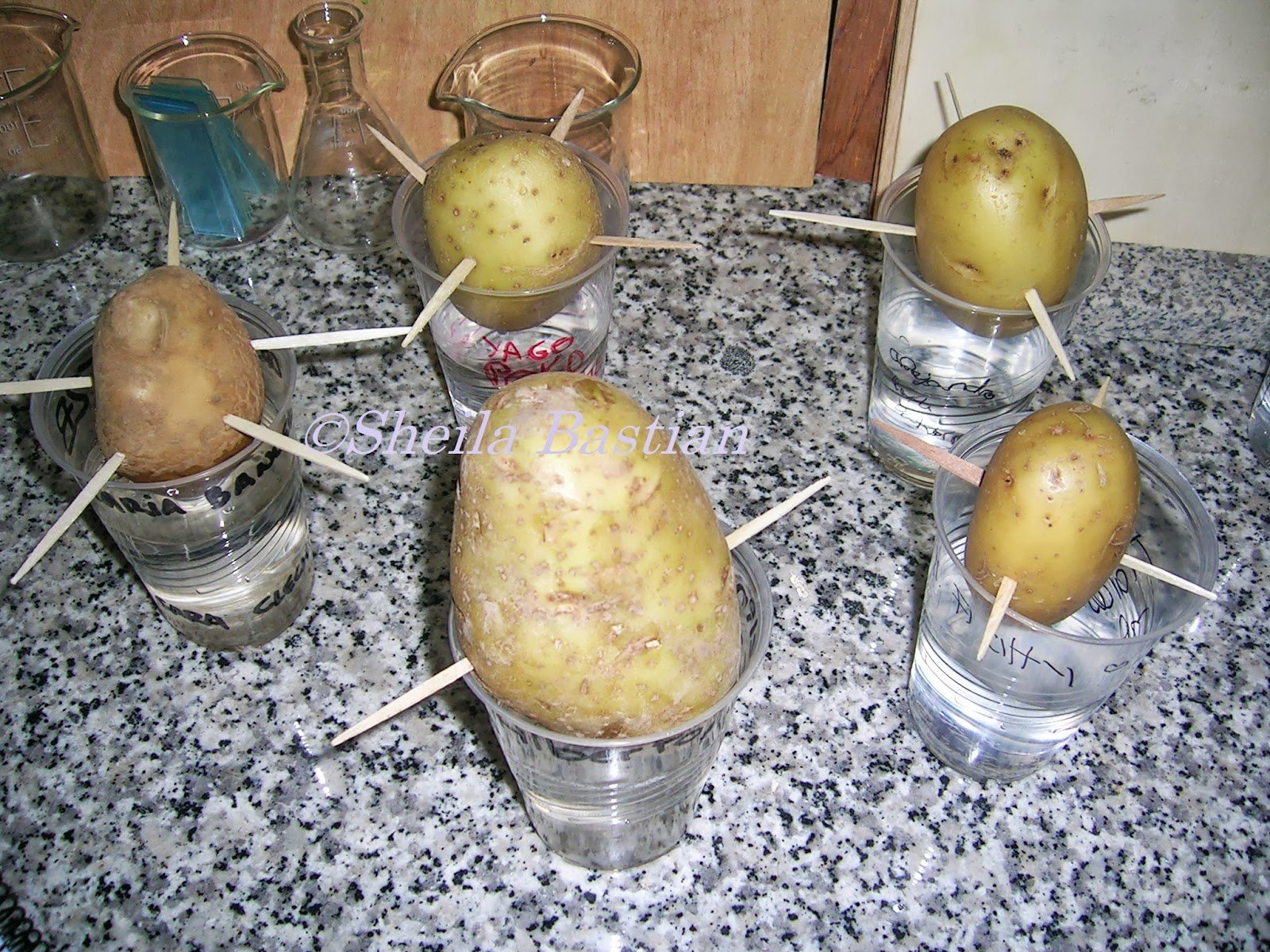 Potato asexual reproduction lab