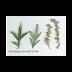 Ngải cứu (Artemisia vulgaris),ART00140