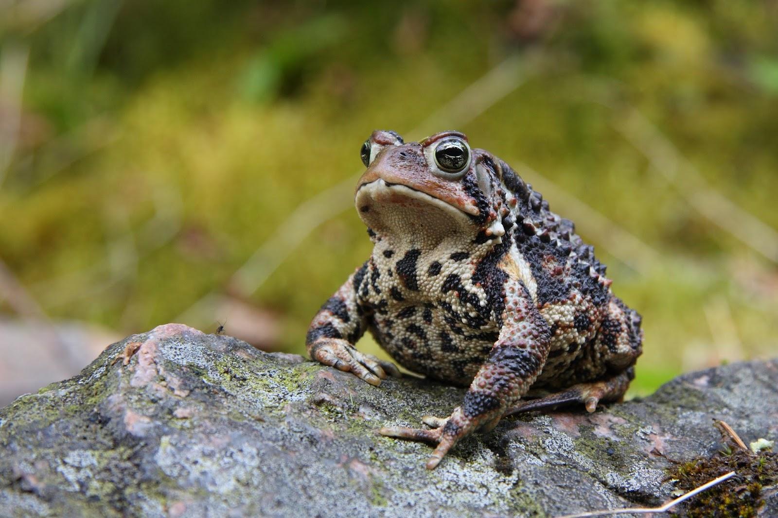 Amphibians: Bufo americanus PJC