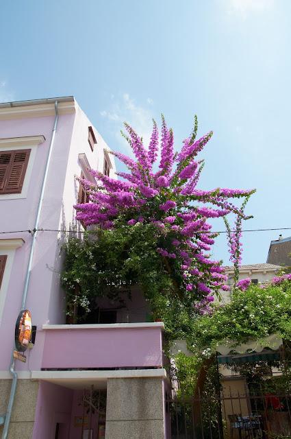 kwitnące bugenwille w Chorwacji