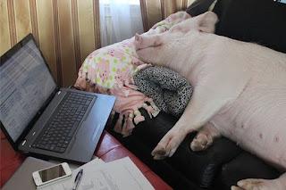 porco dormindo no sofá com computador ligado