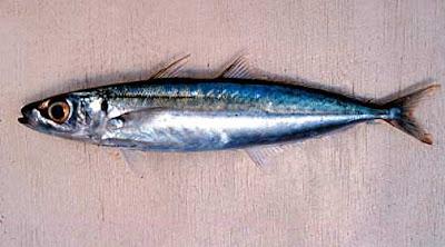 Jenis - Jenis Ikan Air Laut Ekonomis Penting [Bagian 3]