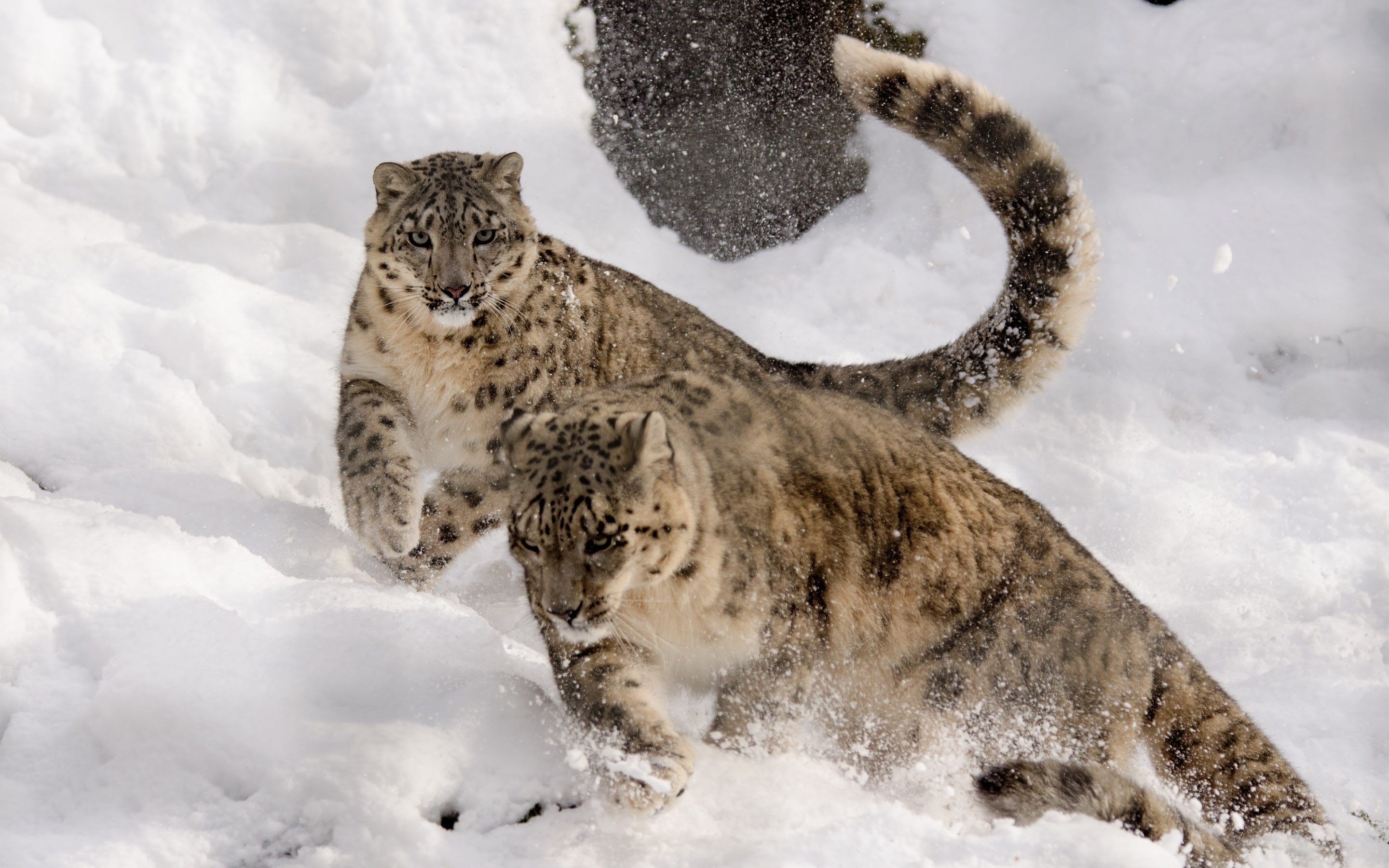 Snow Leopard Cubs Wallpapers in jpg format for free download