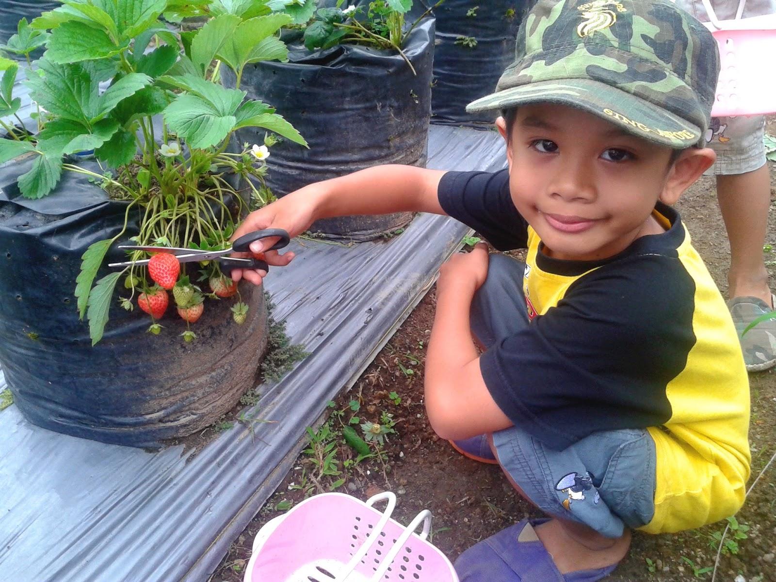 Kebun Strawberry di Tanah Karo