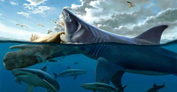 Yetişkin bir megalodonun boyu 21-23 metre arasında değişkenlik gösteriyordu.