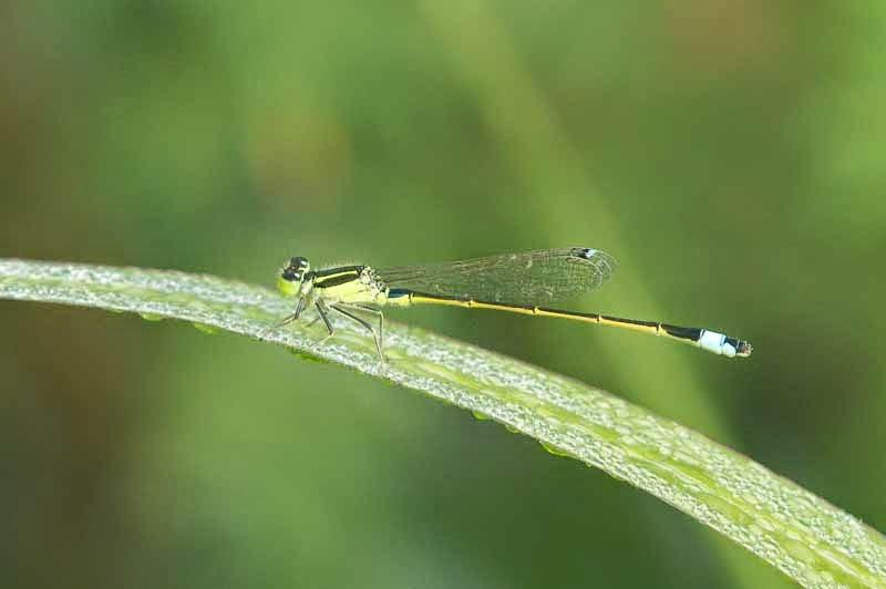 Damselfly male, Coeliccia ryukyuensis