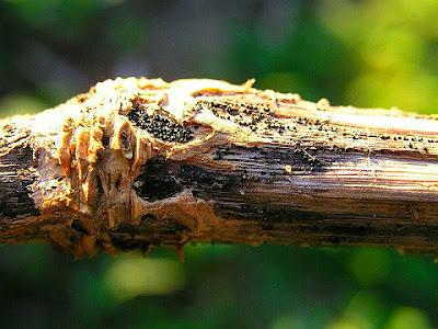 Pie Negro es un hongo que se propaga por semilla en Sastrería Vegetal te explicamos porque sucede