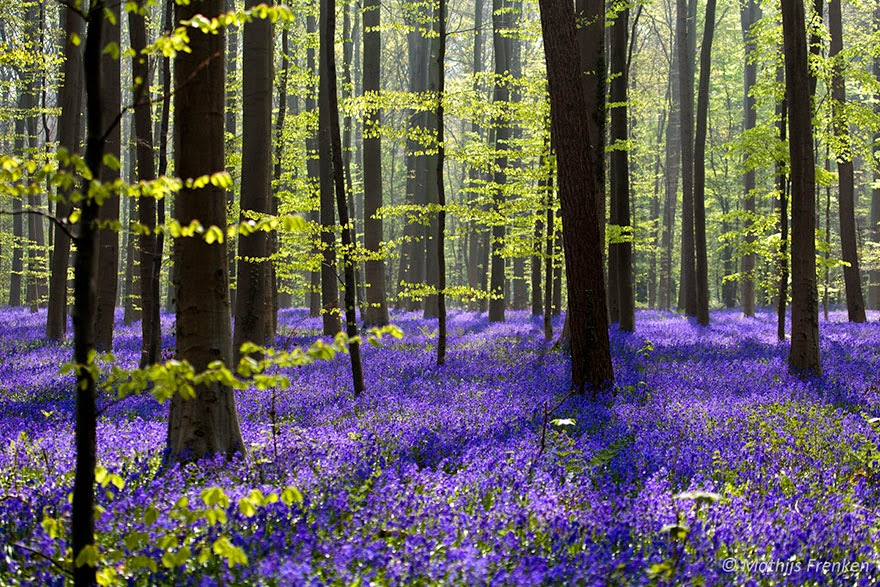 There's A Mystical Forest In Belgium All Carpeted With Bluebell Flowers
