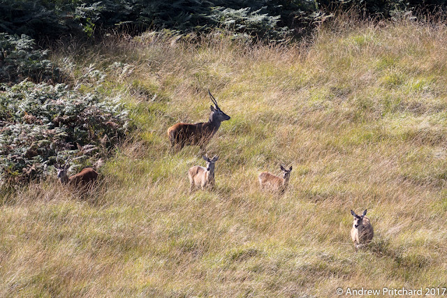 The stag loses interest as the other deer become concerned what is happening nearby.