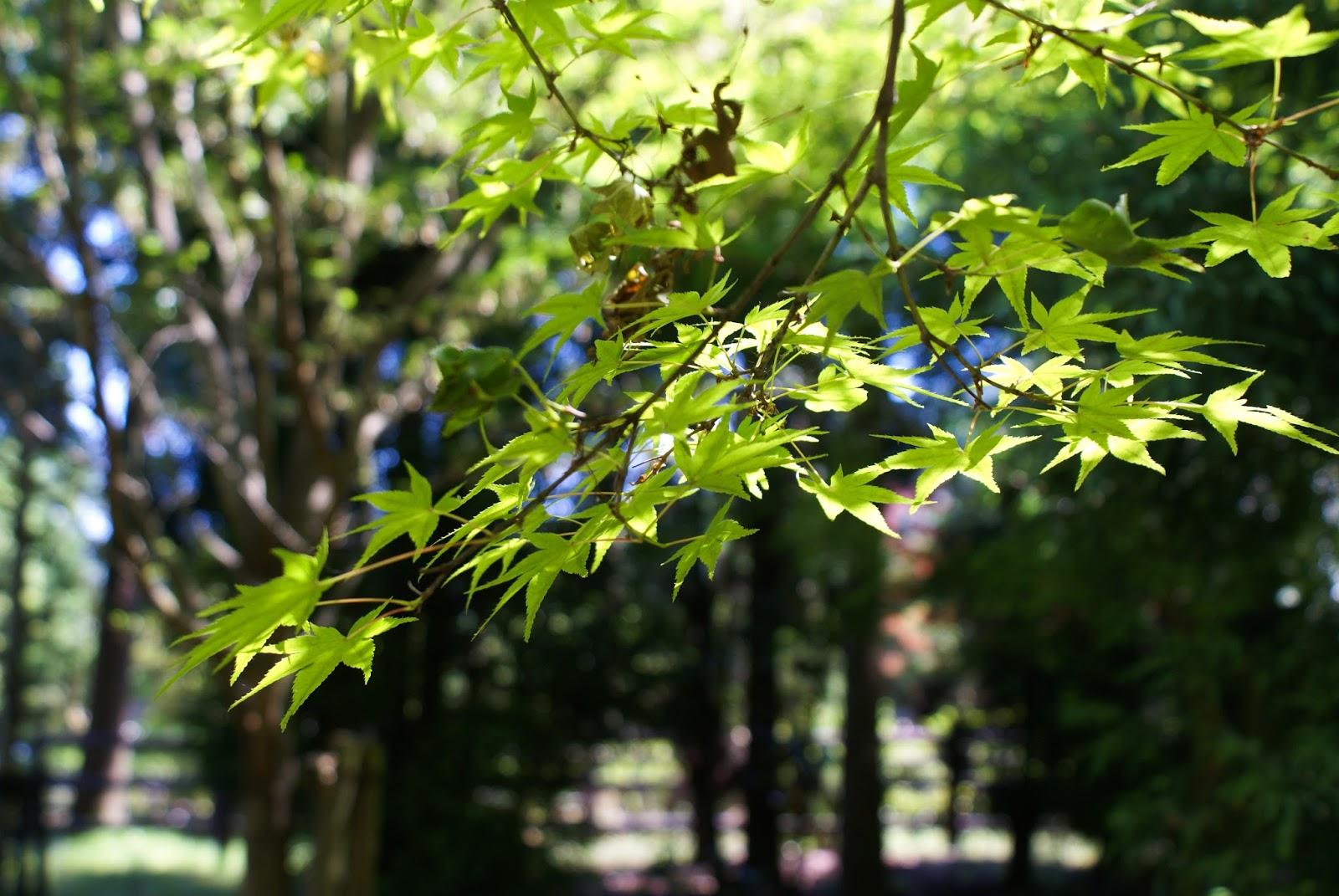 arashiyama kyoto japan zen maple leaf spring