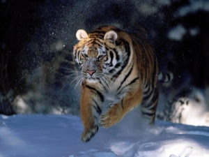 Latest hd wallpaper Tiger