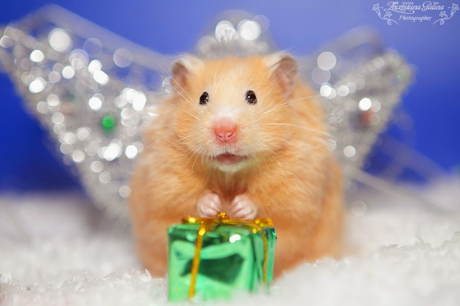 Cute Baby Hamsters Wallpaper 27 Cutest Hamster Pictures Ever Seen On The Internet