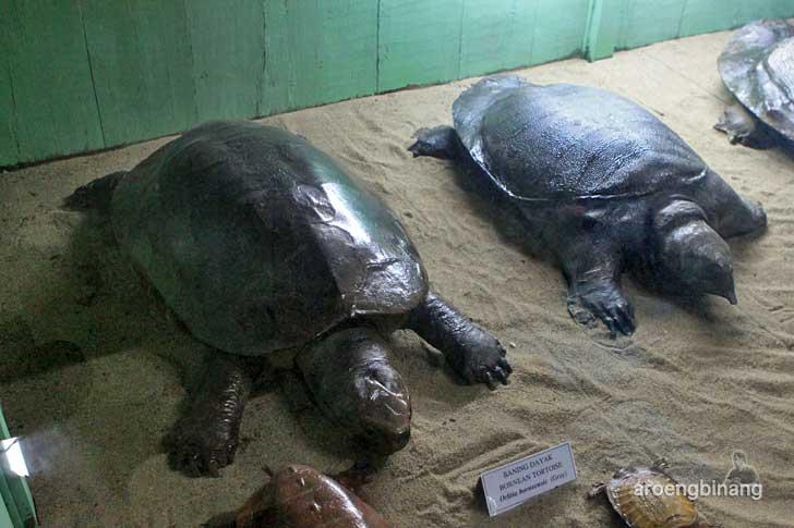 baning dayak museum zoologi bogor