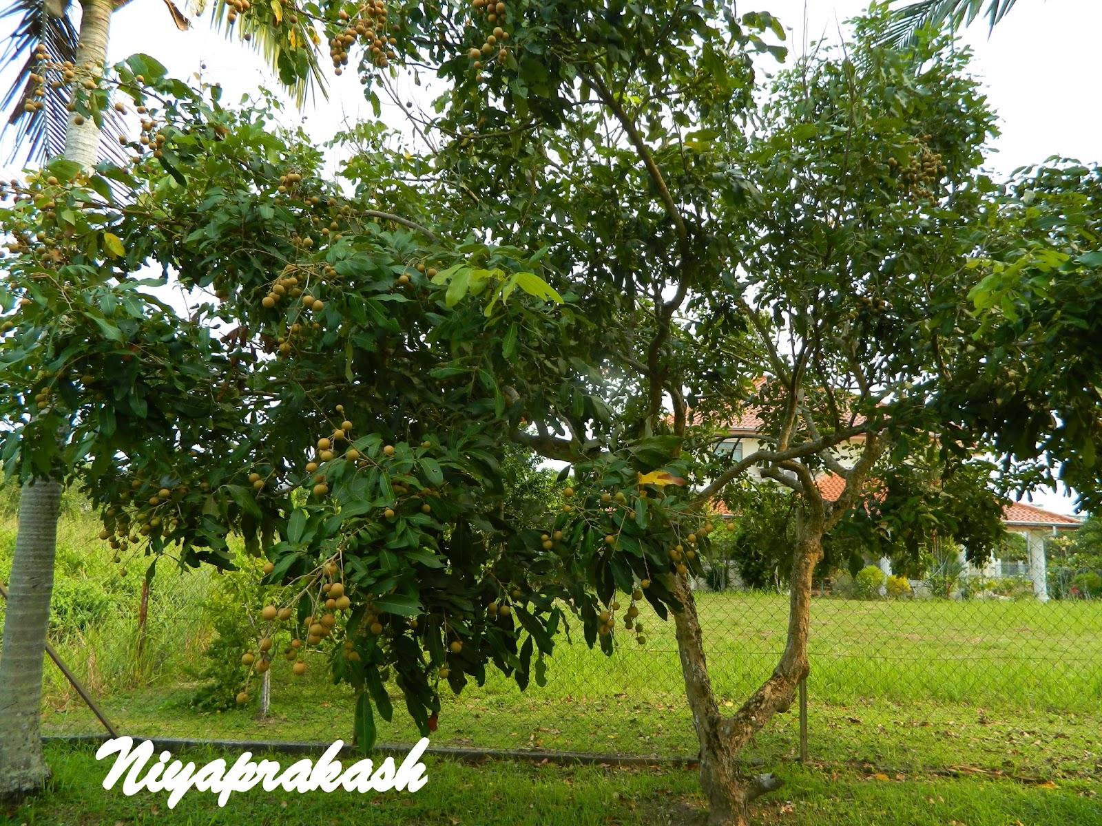 Niya's World: Photos of ''Longan/ Cat's Eye / Mata Kuching ...