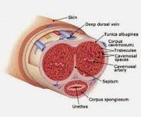 Hasil dan cara kerja Obat pembesar penis VmenPlus