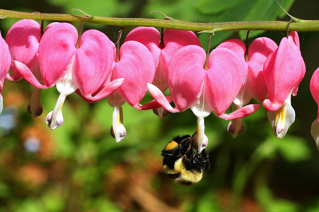 Bleeding Heart flower with wild bee